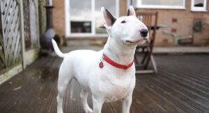Bull Terrier Dog Breed Information Center