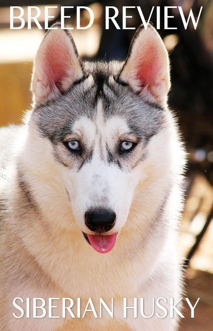 A fascinating guide to the Siberian Husky breed of dog