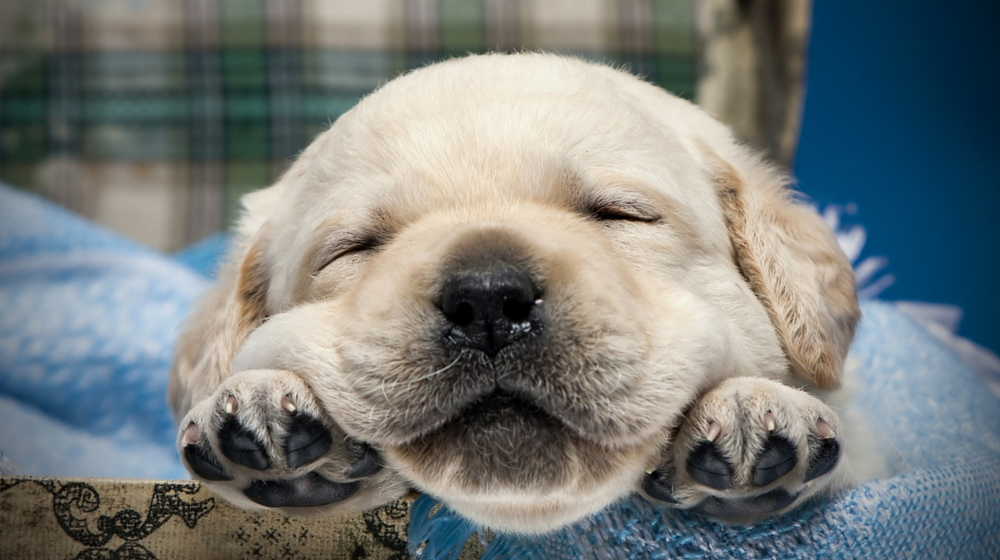 Find out if a Labrador Retriever is the dog for you in this guide to the Labrador breed.