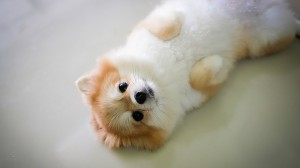 Pomeranian: Pros and Cons of the Fluffiest Breed in Town