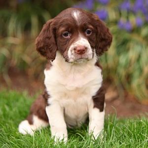springer puppy