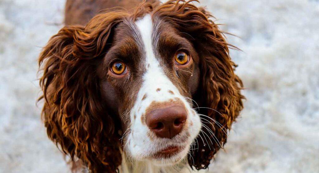 English Springer Spaniel Dog Breed Information Center