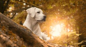 The Labrador Retriever Dog Breed Information Center