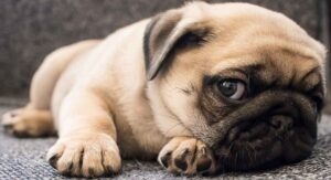 Pug Dog Breed Information Center; A Complete Guide To The Pug