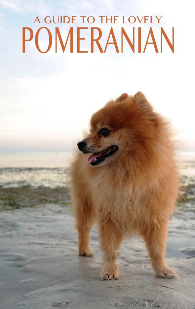The Pomeranian - a little dog with a big heart!