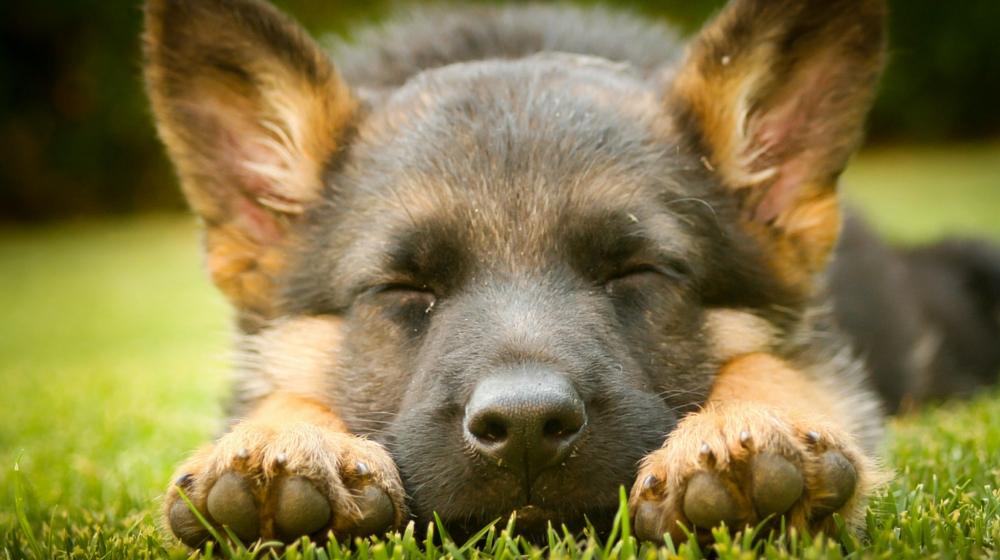 the german shepherd dog   the happy puppy site