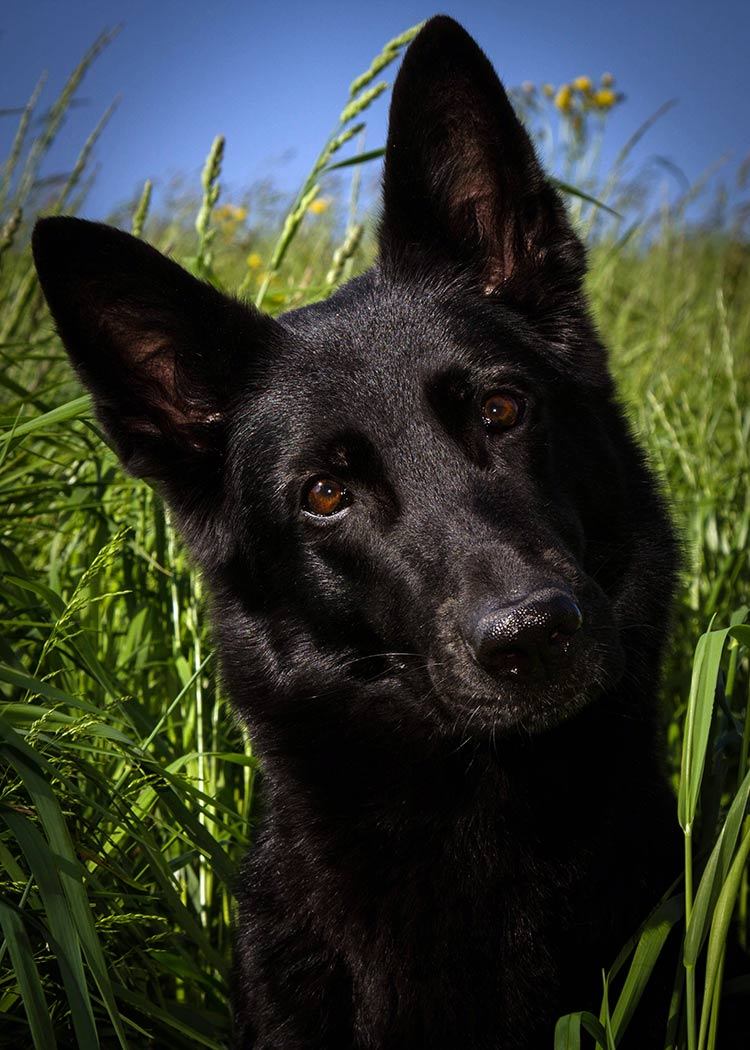 Black German Shepherd - a beautiful German Shepherd Dog with a jet black coat