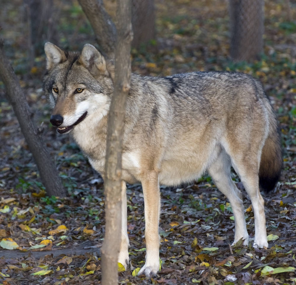 European grey wolf (Canis lupus) in a forest