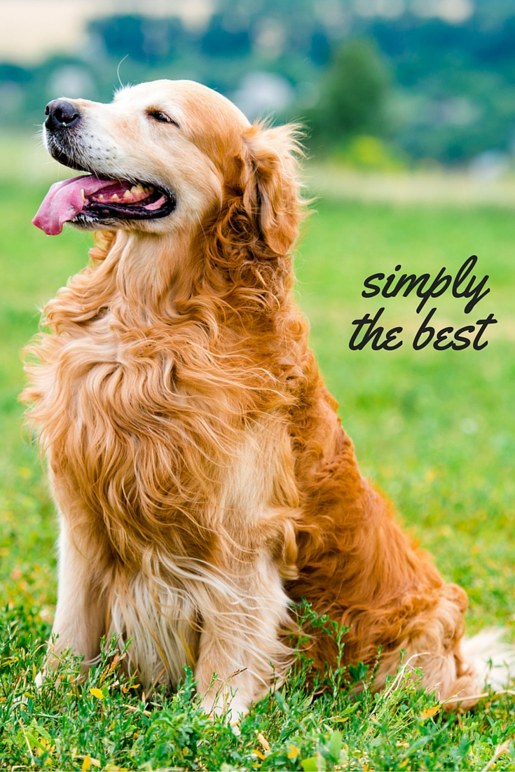A review and guide to the beautiful Golden Retriever breed of dog
