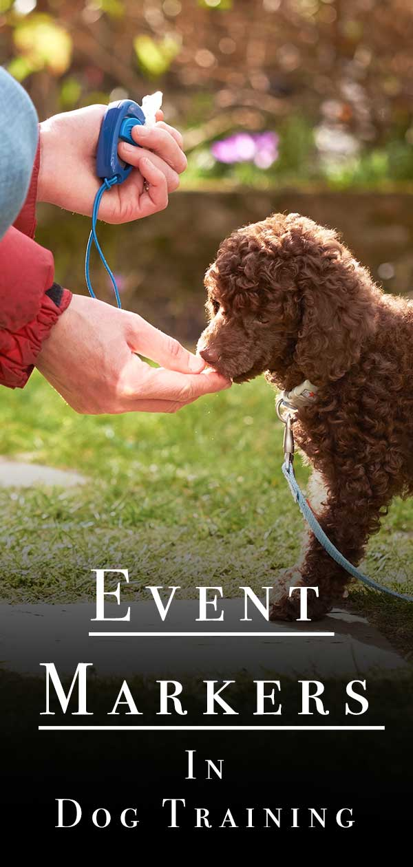 A poodle receiving a click and treat