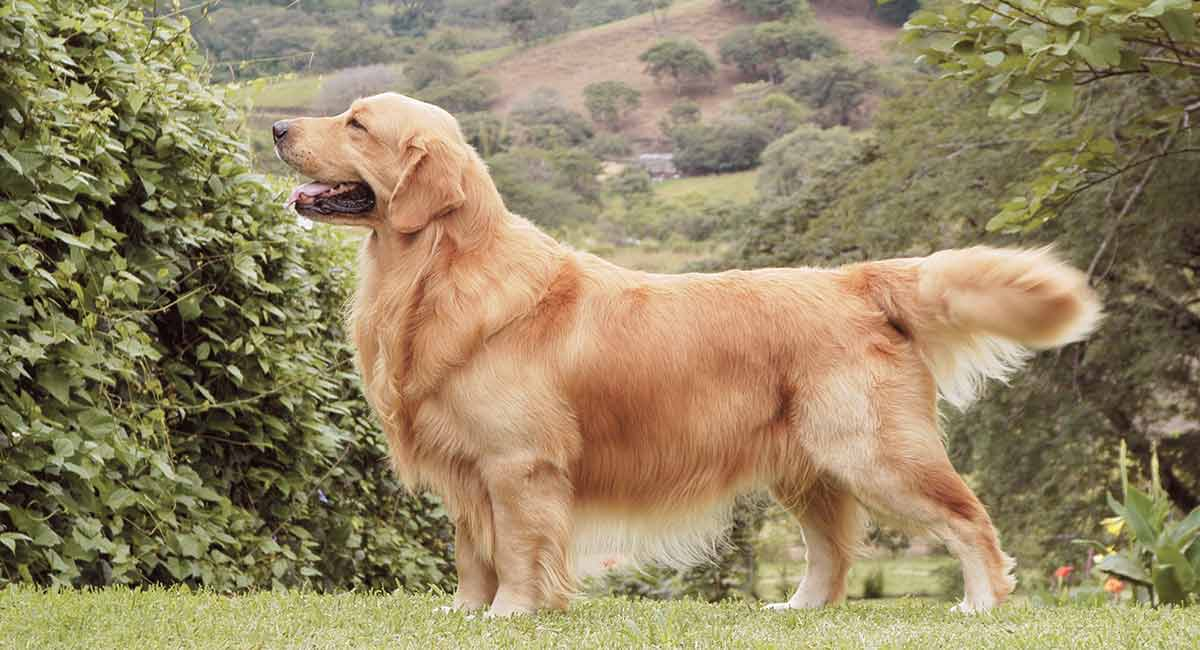 dogs similar to golden retriever golden retriever dog breed information the happy puppy site 1369