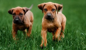 Inbreeding Dogs: The Truth About Purebred Puppies