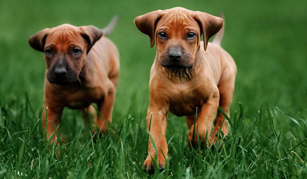 pra-in-dogs