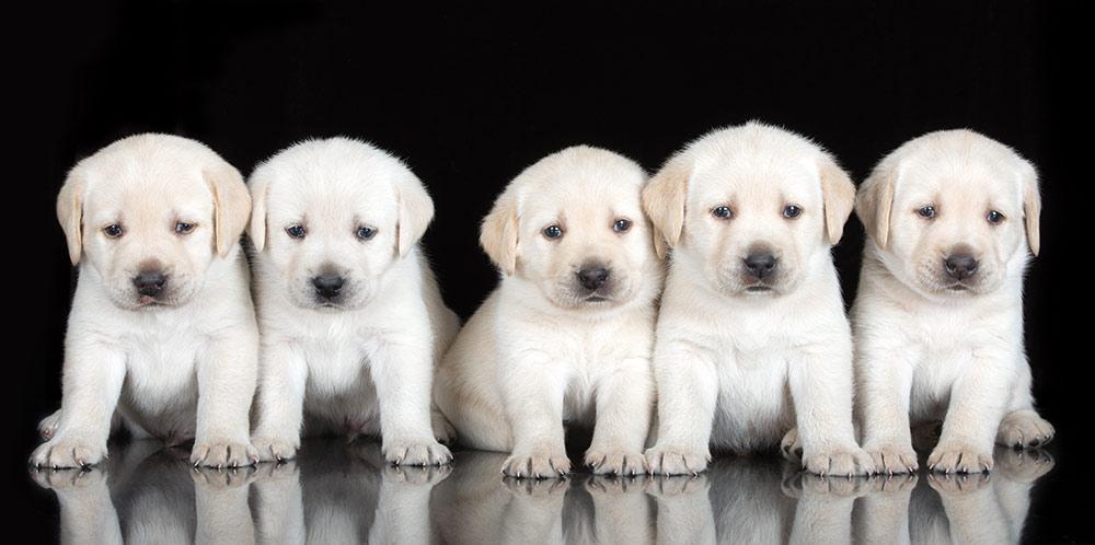 litter-labrador-puppies