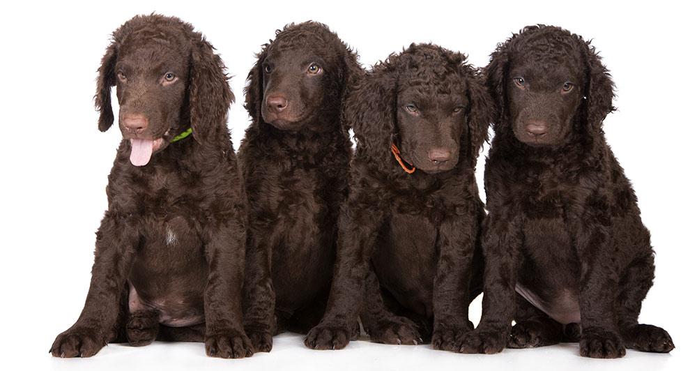 pedigree-dogs-retriever-puppies
