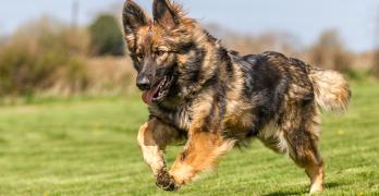 Crufts 2016 The German Shepherd Dog