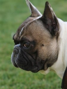 french bulldog breathing