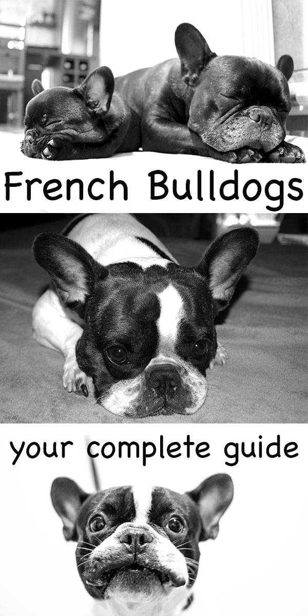 your complete guide to the French Bulldog breed