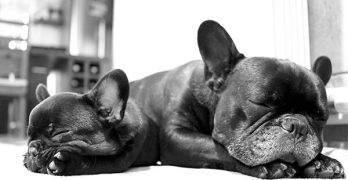 French Bulldog: A Complete Guide