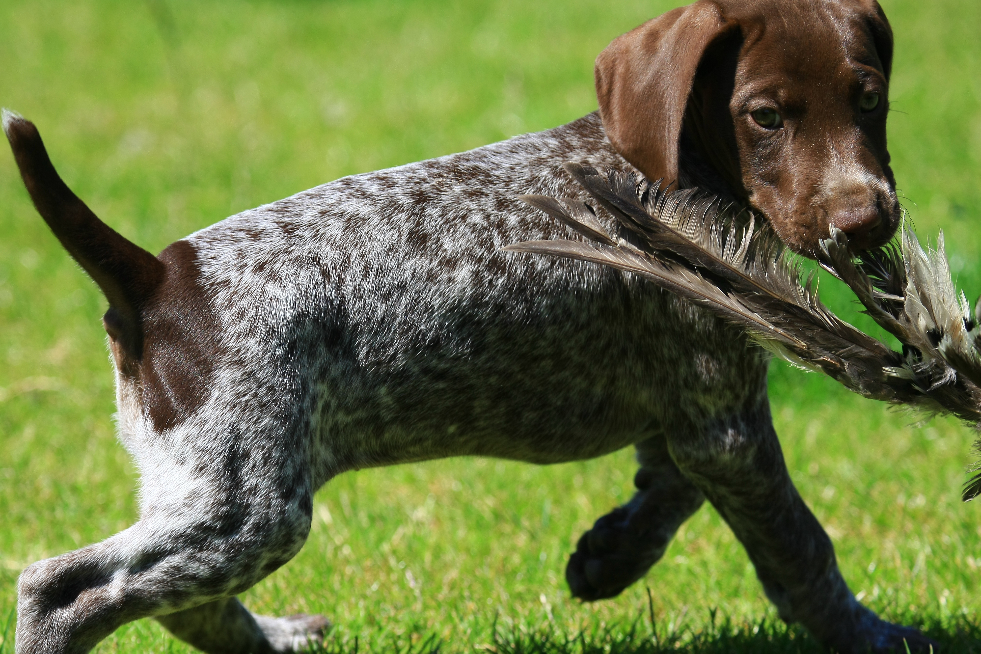 German Shorthaired Pointer The Happy Puppy Site