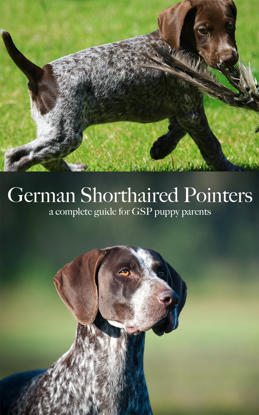 German Shorthaired Pointer Breed Information Center A Gsp Dog Guide
