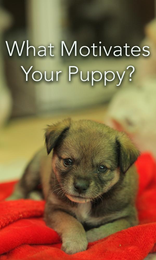 motivate puppy