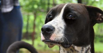 Over Excited Dog: How Understanding Behavior Thresholds Can Help You