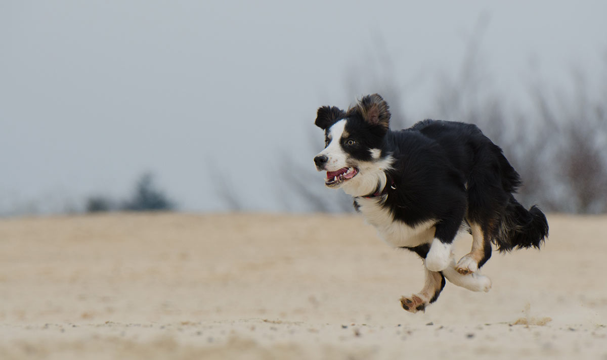 running-collie
