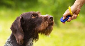 German Wirehaired Pointer and clicker