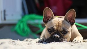 Brachycephaly In Dogs: What It Means To Be A Brachycephalic Puppy