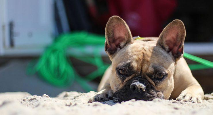 french-bulldog-brachycephaly