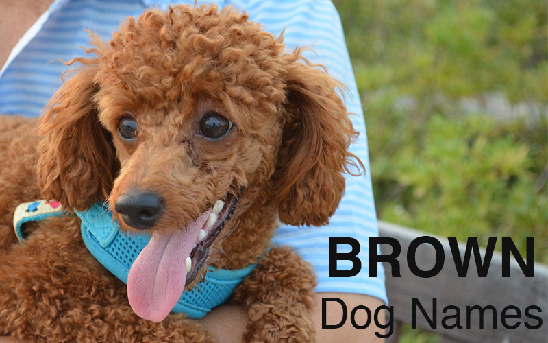 Brown dog names - great ideas for naming your brown puppy
