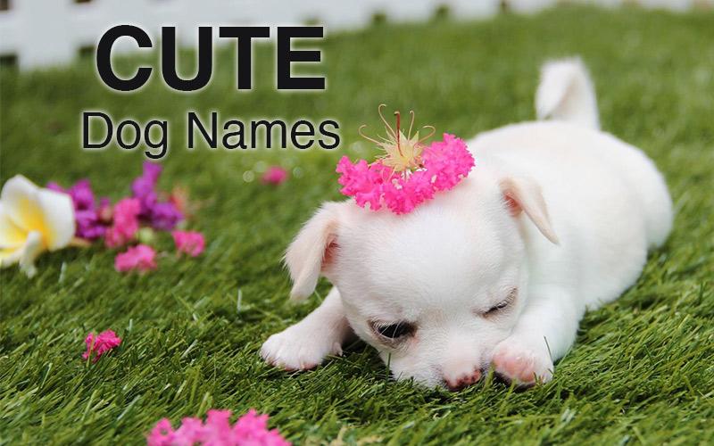 Cute Girl Dog Names For Chihuahua