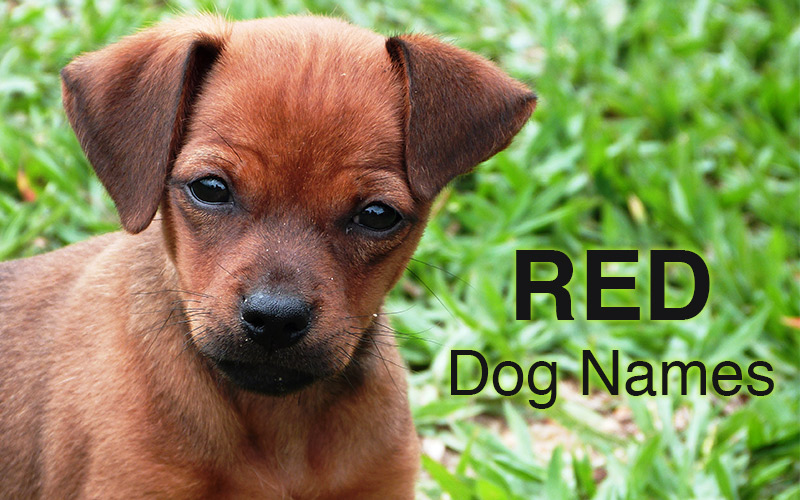 red dog names - great ideas for naming your red puppy