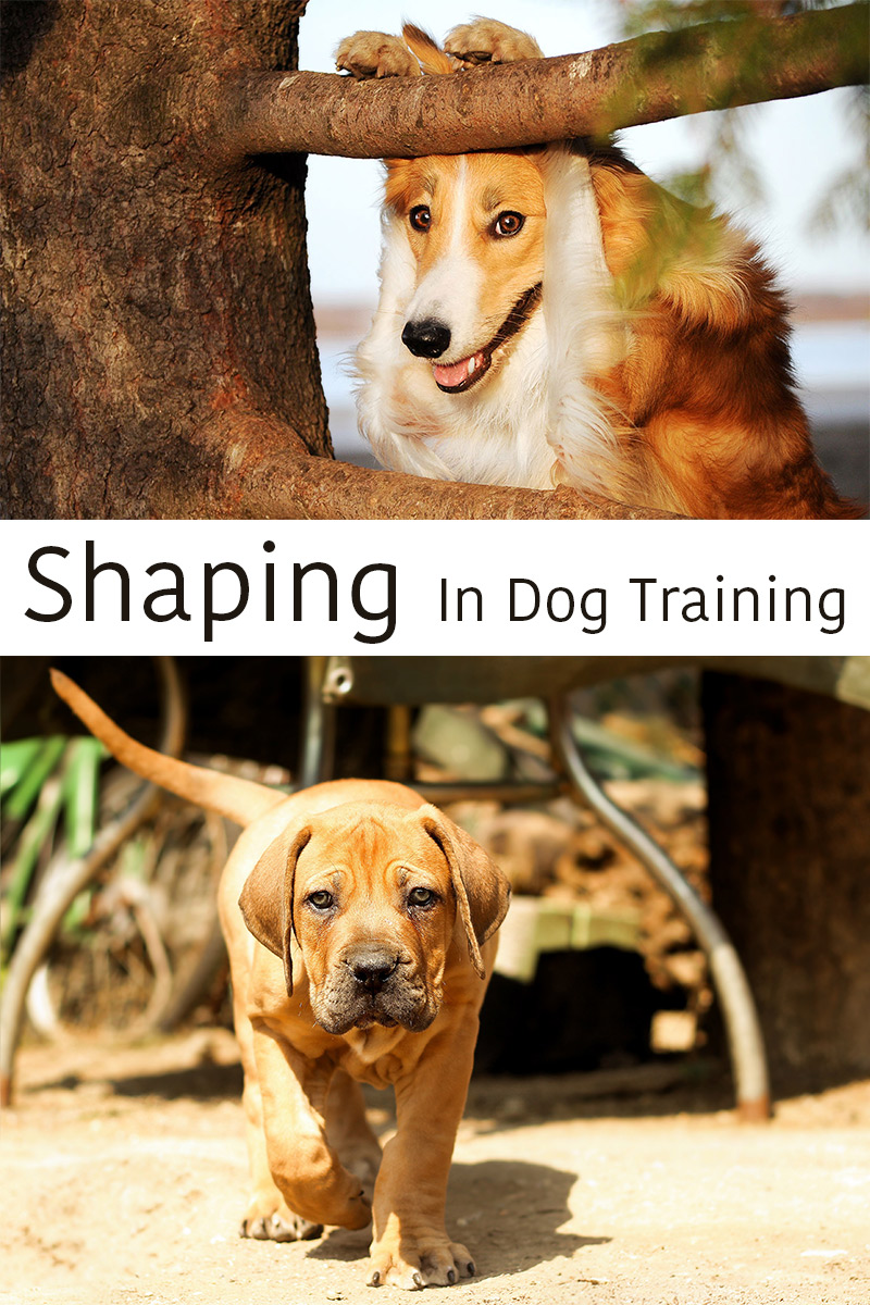How to teach a dog to carry out complex tasks.  The art of shaping!