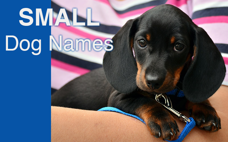 Small Dog Names - Great ideas for your tiny puppy