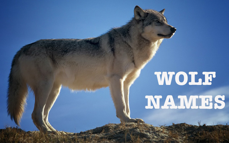Great ideas for Wolf Names for dogs