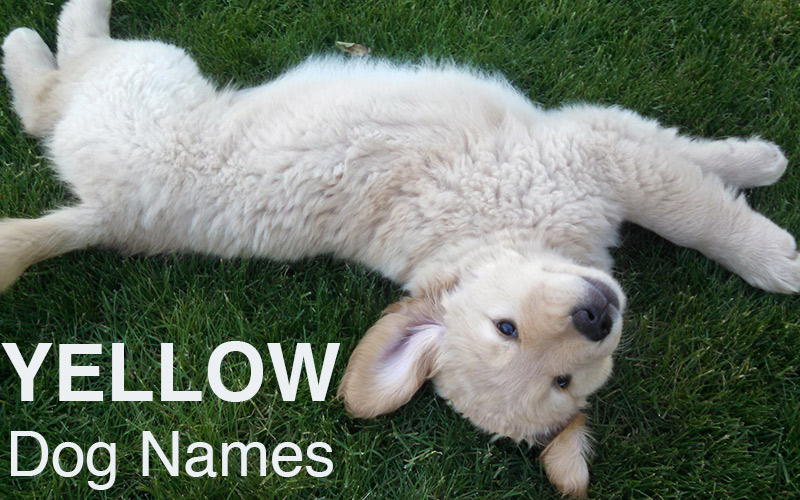 Yellow dog names - great ideas for naming your happy puppy