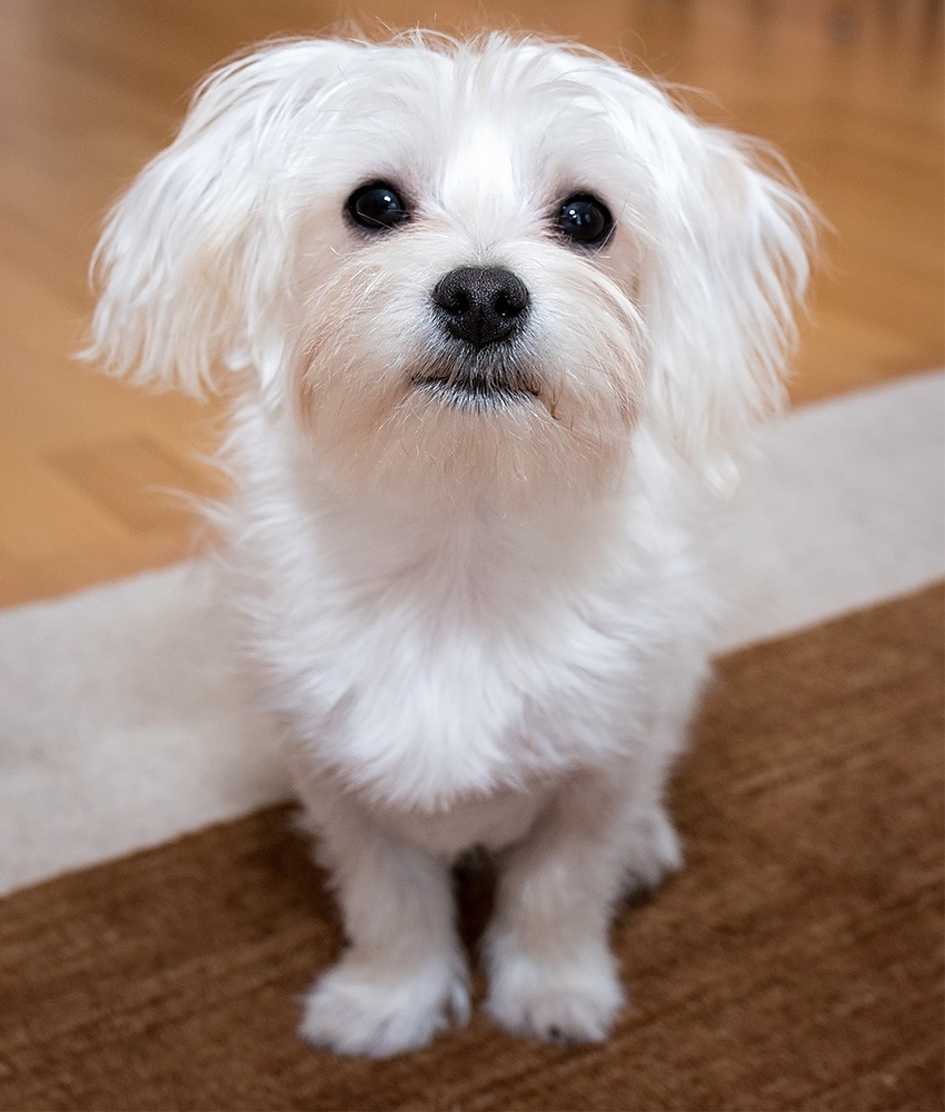 Maltese with big dark eyes