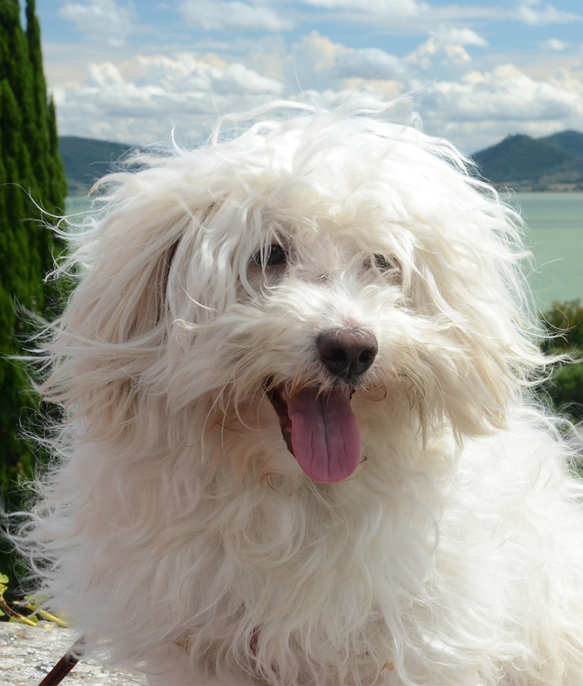 Maltese with tongue out