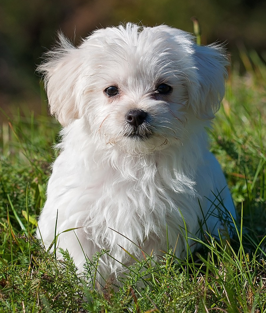 Maltese in grass
