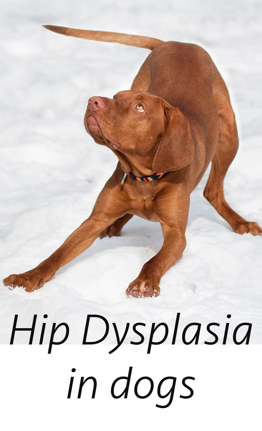 Hip dysplasia in dogs. A guide to Canine hip dysplasia, testing, treatment, symptoms and prevention