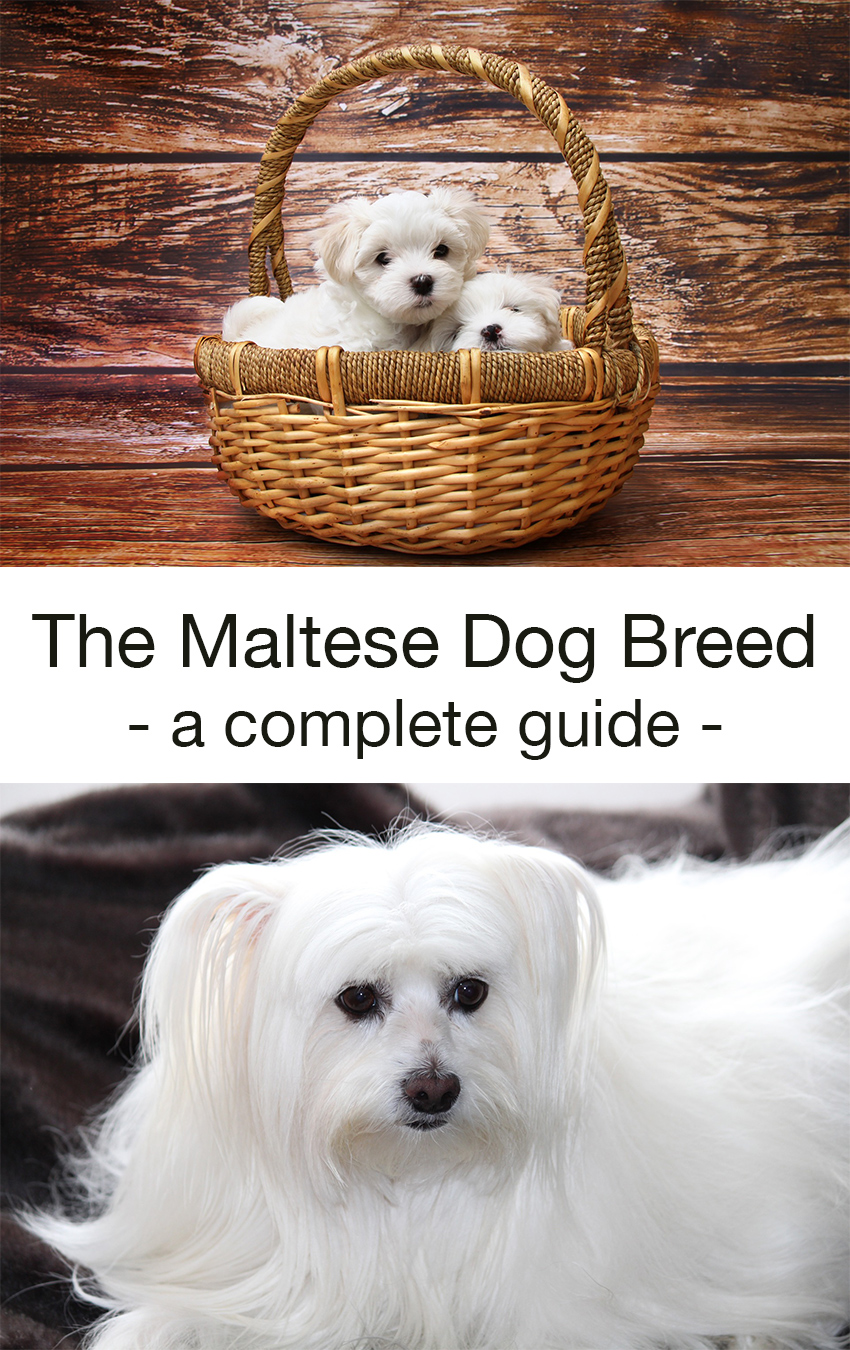 A complete guide to the maltese breed of dog