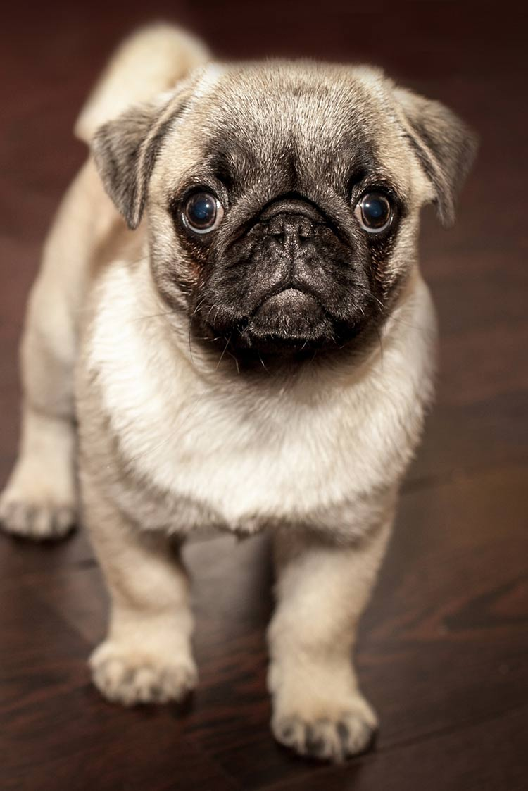 Pugs are one of the dog breeds with curly tails
