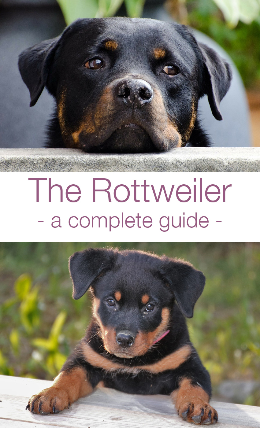 A complete guide to the Rottweiler breed for owners and prospective puppy buyers