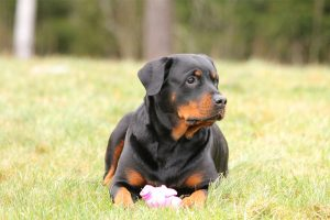 The Rottweiler – Your Guide To A Loyal Protective Breed