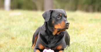 The Rottweiler