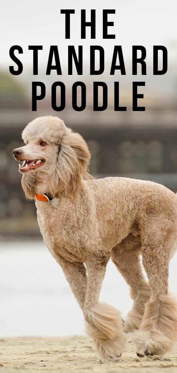Standard Poodle Dog Breed Information Center