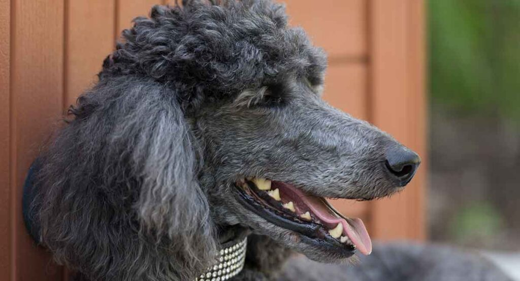 A complete guide to the Standard Poodle. Giving information on size, weight, color, temperament, breeders, adoption and rescue.
