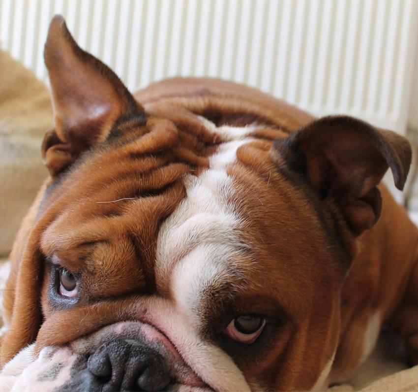 brown and white bulldog